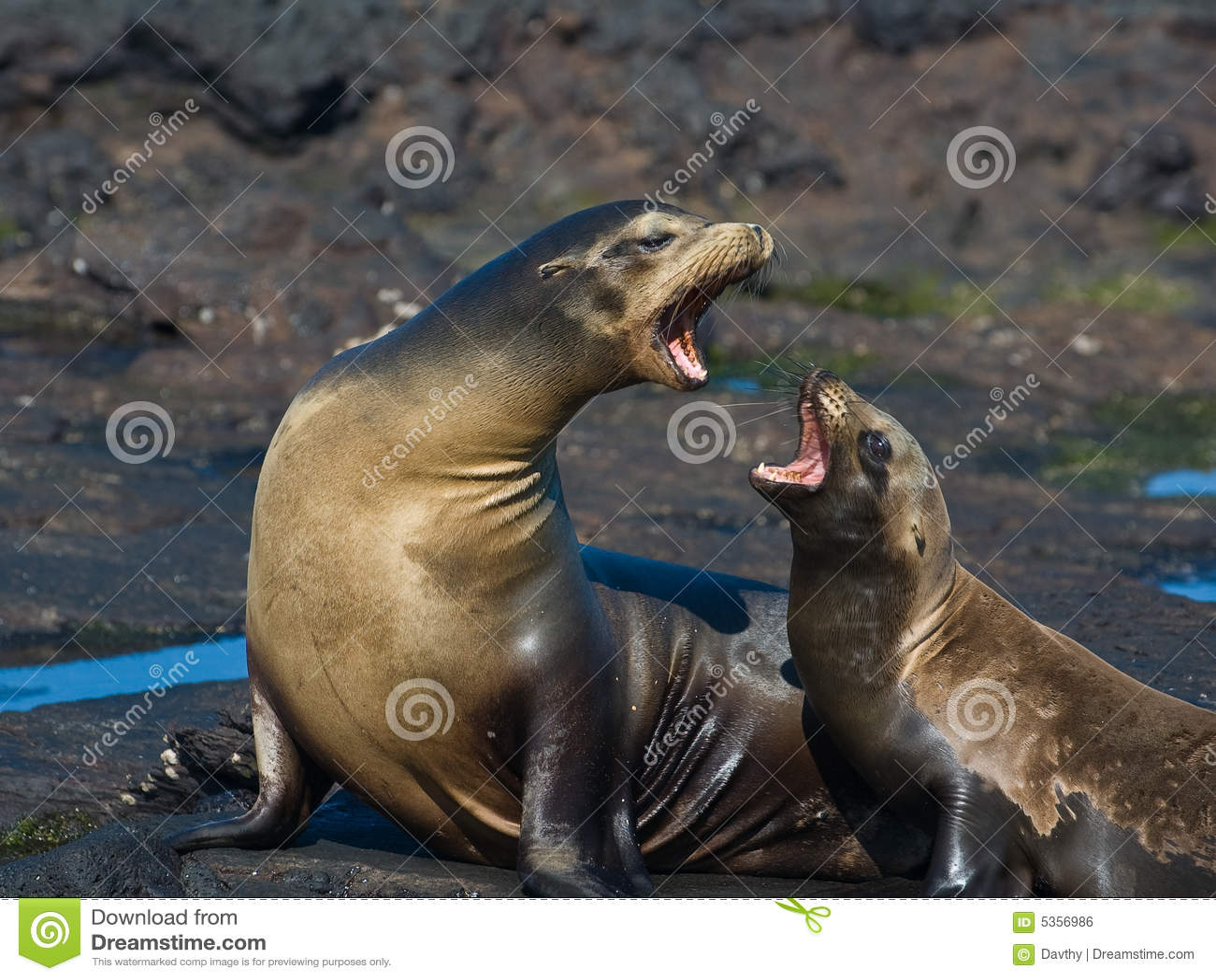 De Zeeleeuwen van de Galapagos