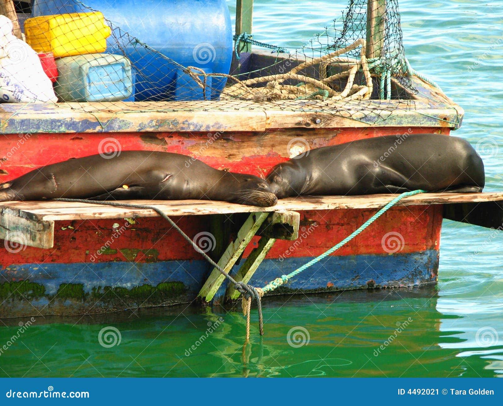 De zeeleeuwen van de Galapagos rusten op vissersboot