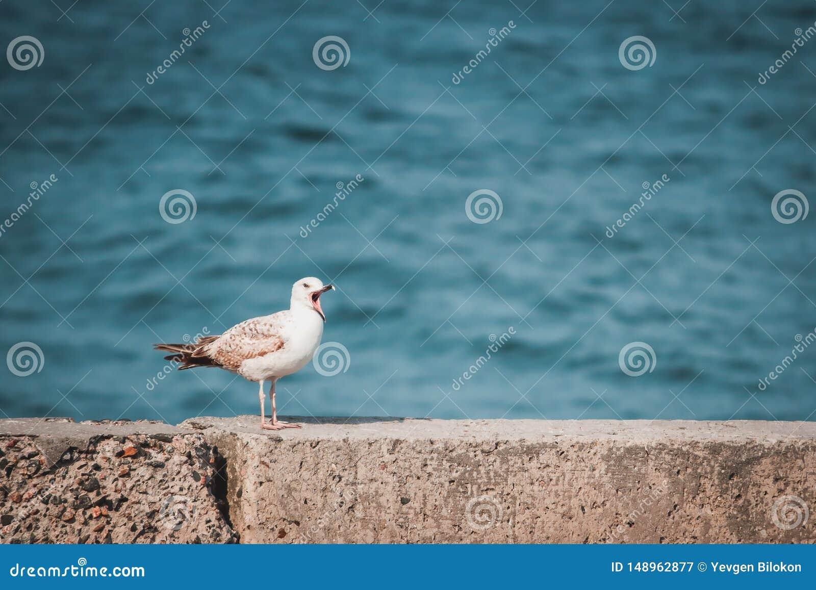 De zeemeeuw met open bek zit op de kust