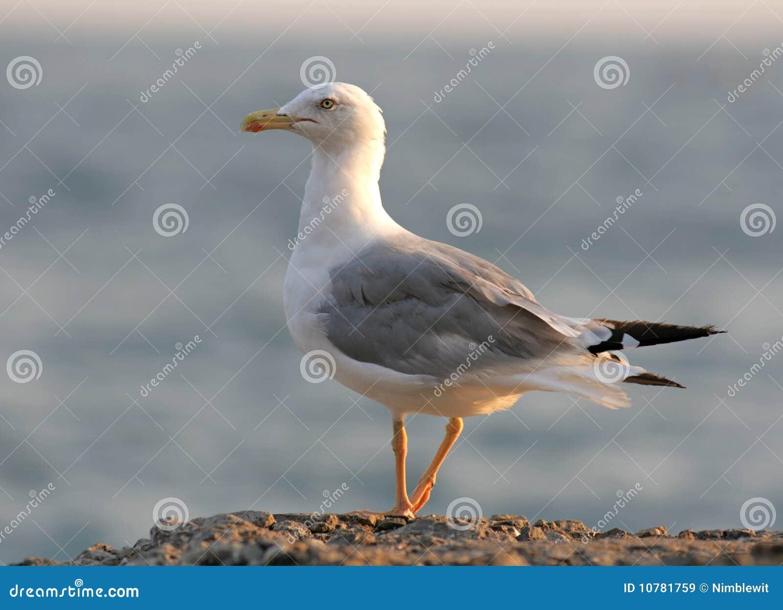 De Zeemeeuw van haringen (vogel)
