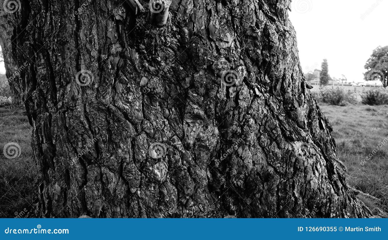 De zeer oude boomstam van de pijnboomboom in B&W