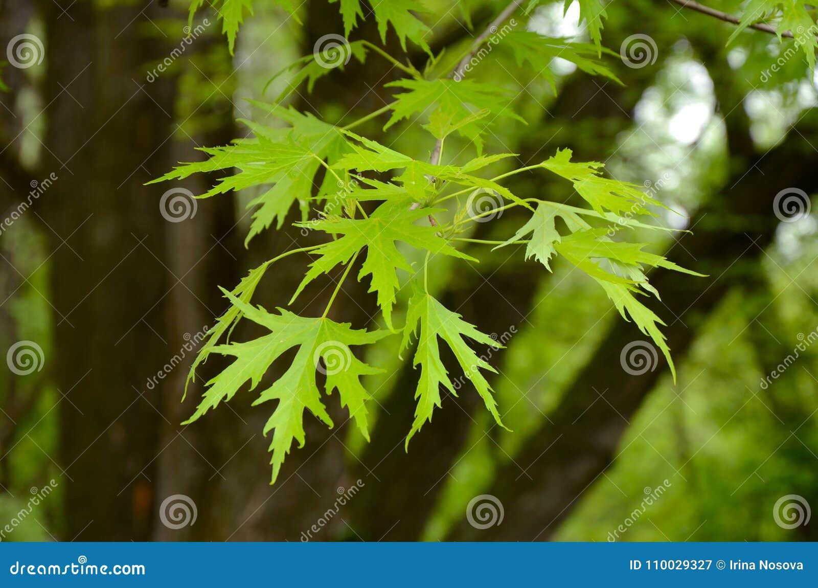 De zilveren tak van de esdoornboom met jonge saccharinum van bladerenacer