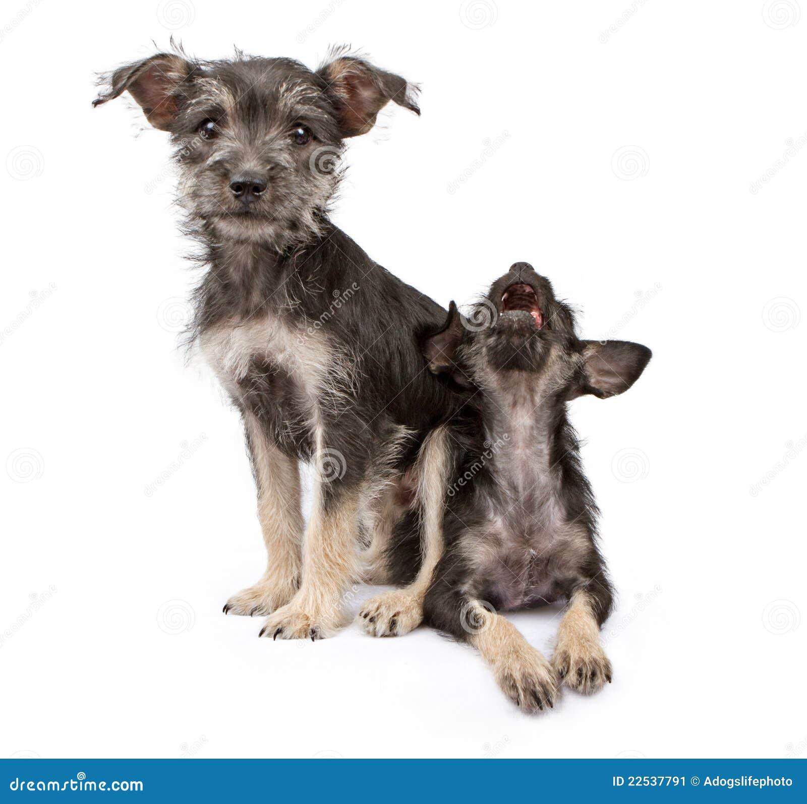 De zitting van het puppy bovenop een andere