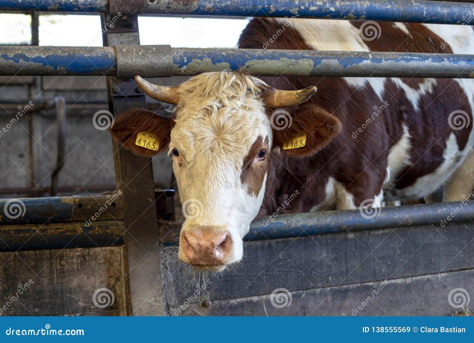 De zoete rode en witte koe met hoornen gluurt door bars van een omheining in een stal