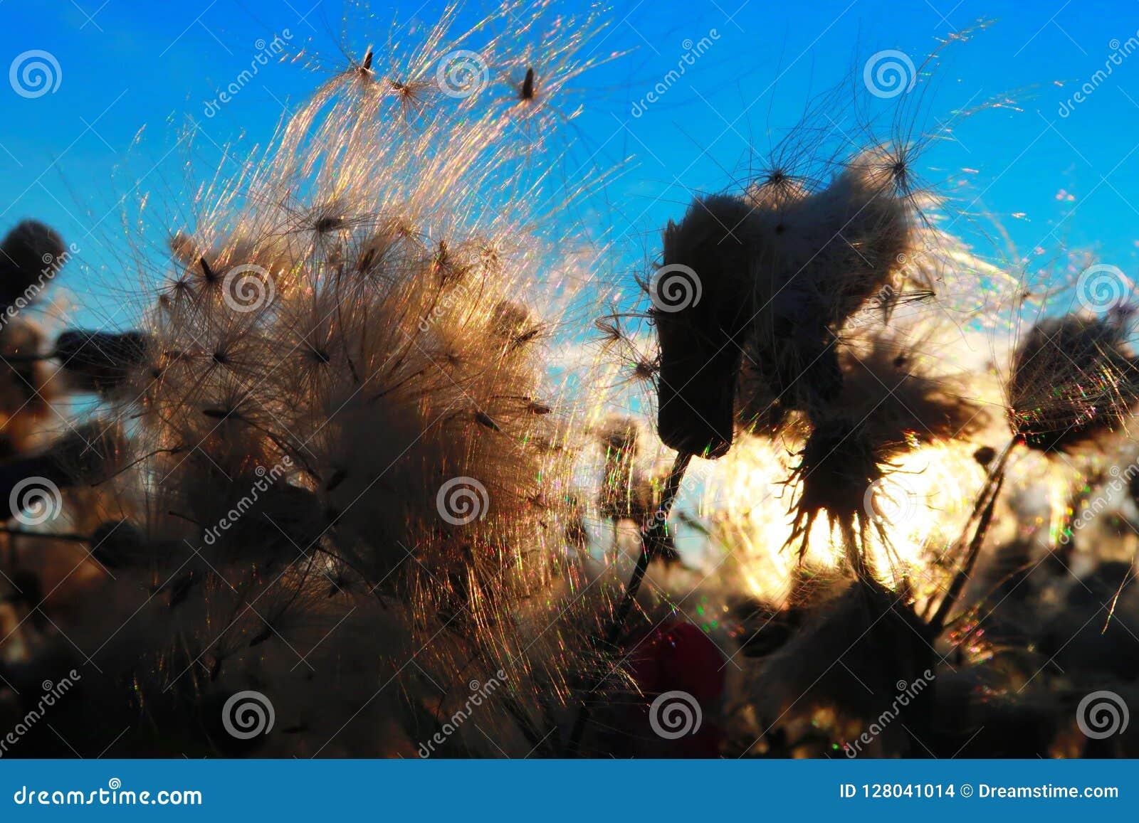 De zomerwind op het gebied De de pluizige bloemen en zaden, blazen de wind