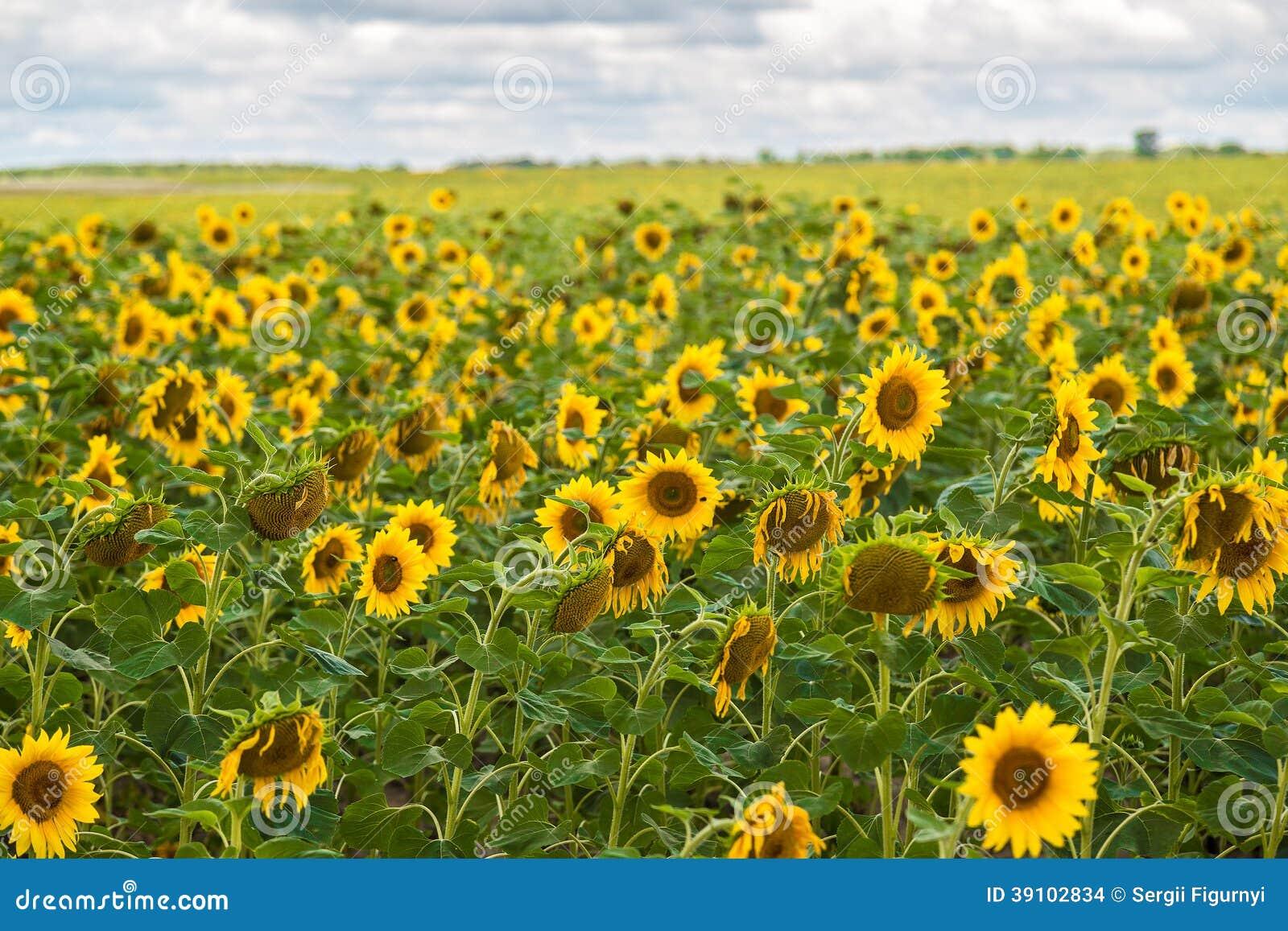 De zon bloeit gebied in de zonnebloemen van de Oekraïne