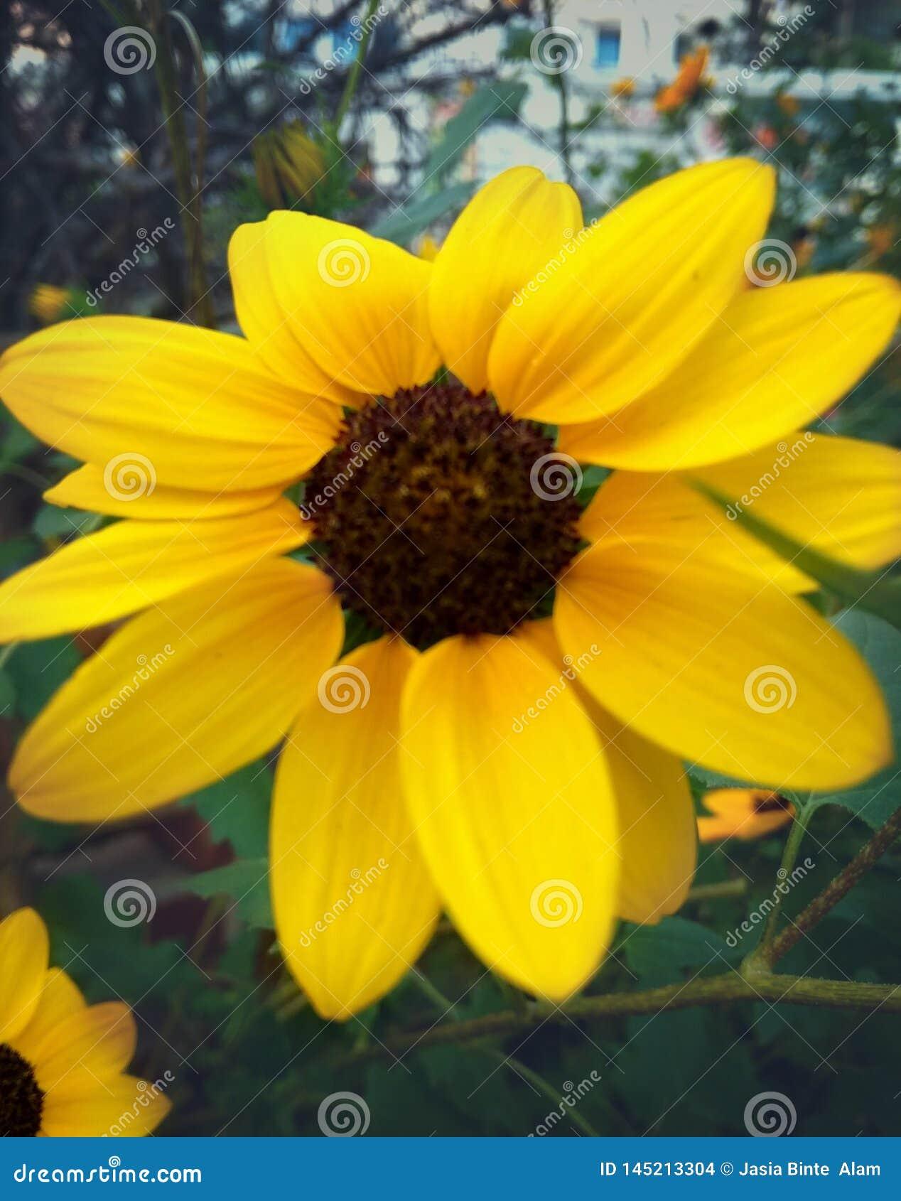 De zonnebloem bloeide in de zomer in tuin