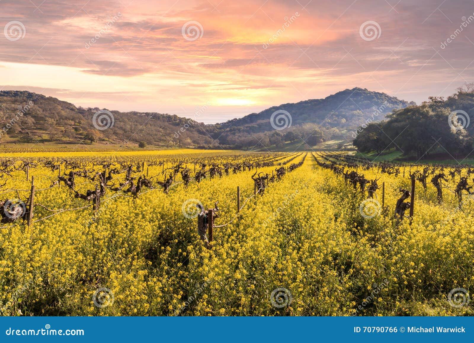 De Zonsopgang van de de Wijngaardenlente van de Napavallei