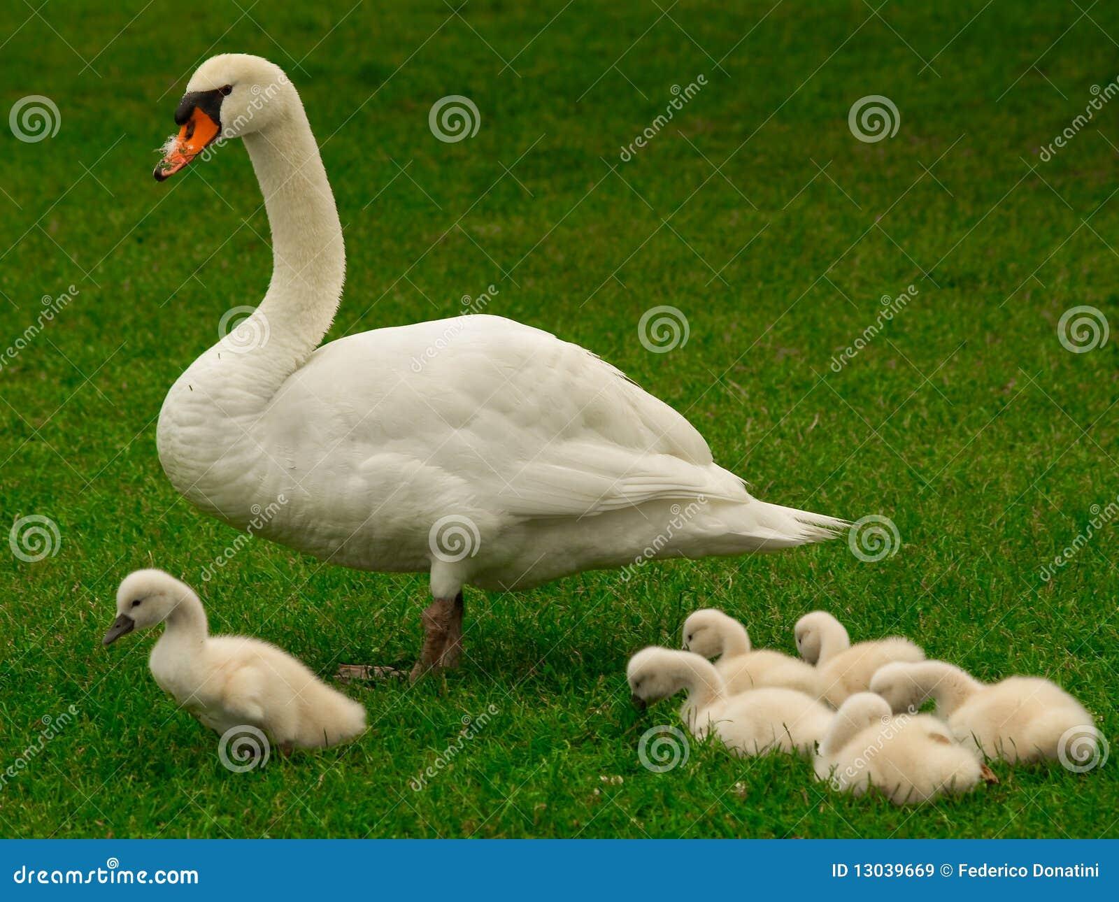 De zwaanfamilie