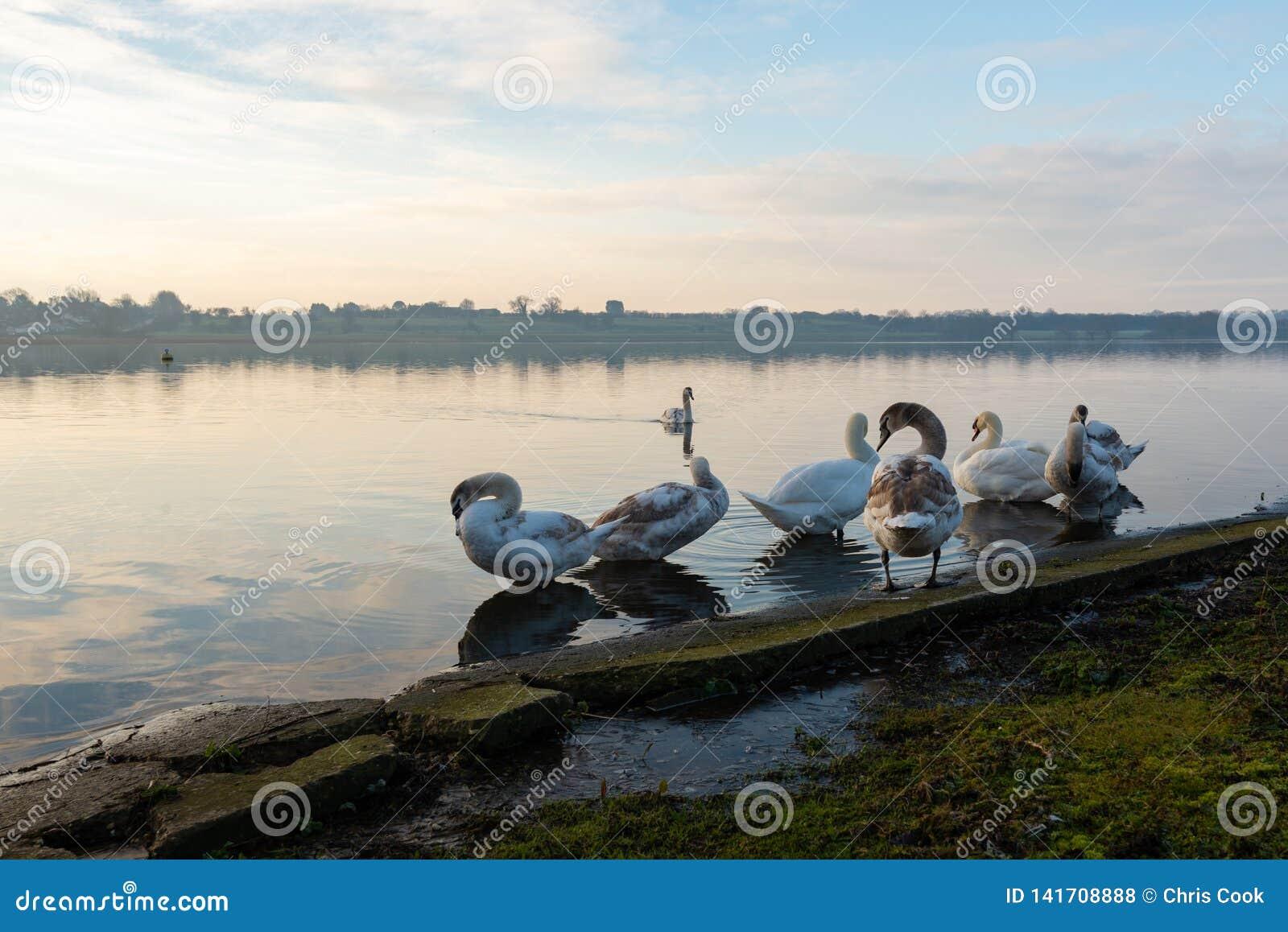 De zwanen maken zich op een bevroren meer in het midden van de Winter in Zuivere Hornsea schoon
