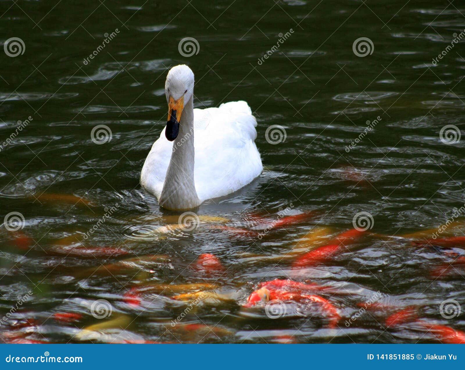 De zwanen zwemmen op de rivier withRed en gele goudvis op donkergroene achtergrond