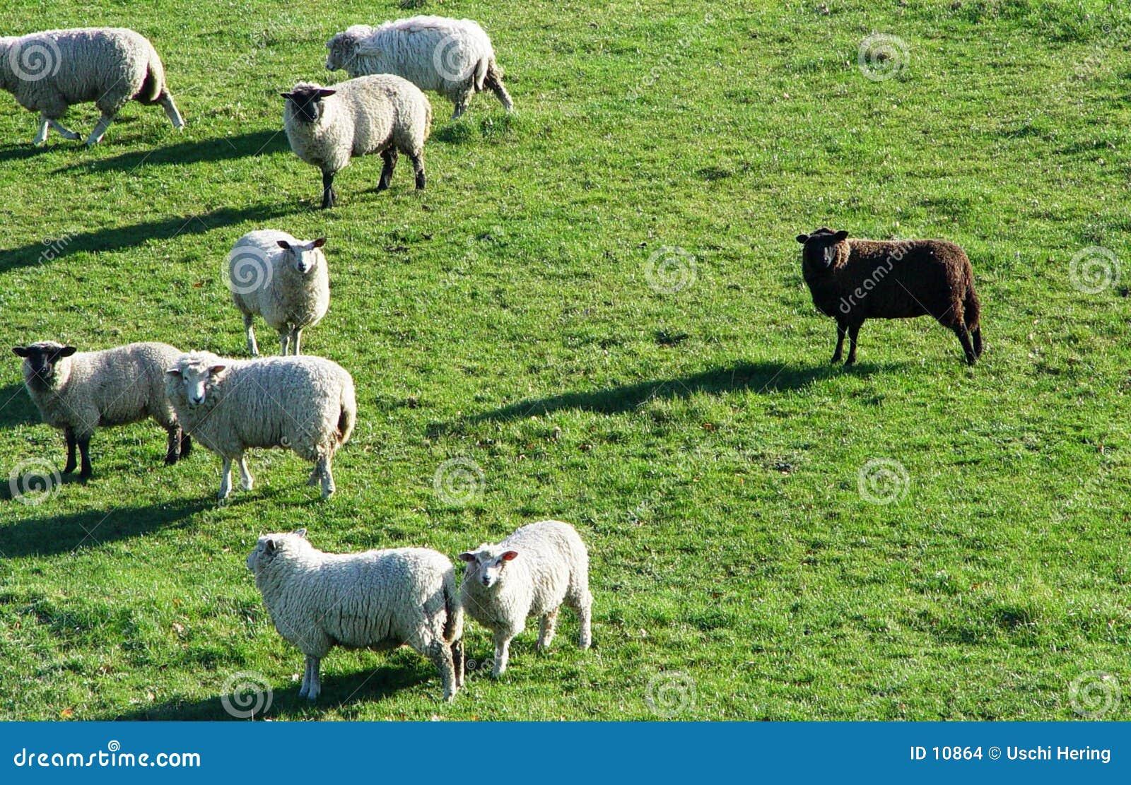 De zwart schapen