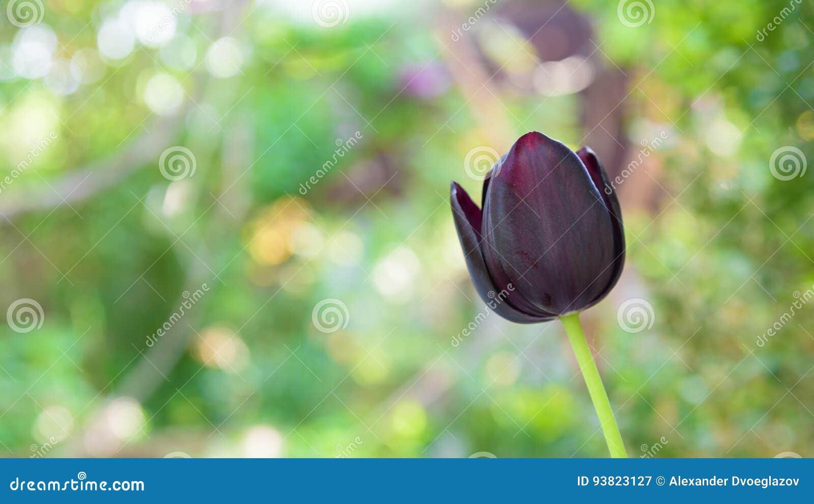 De zwarte close-up van de tulpenbloem