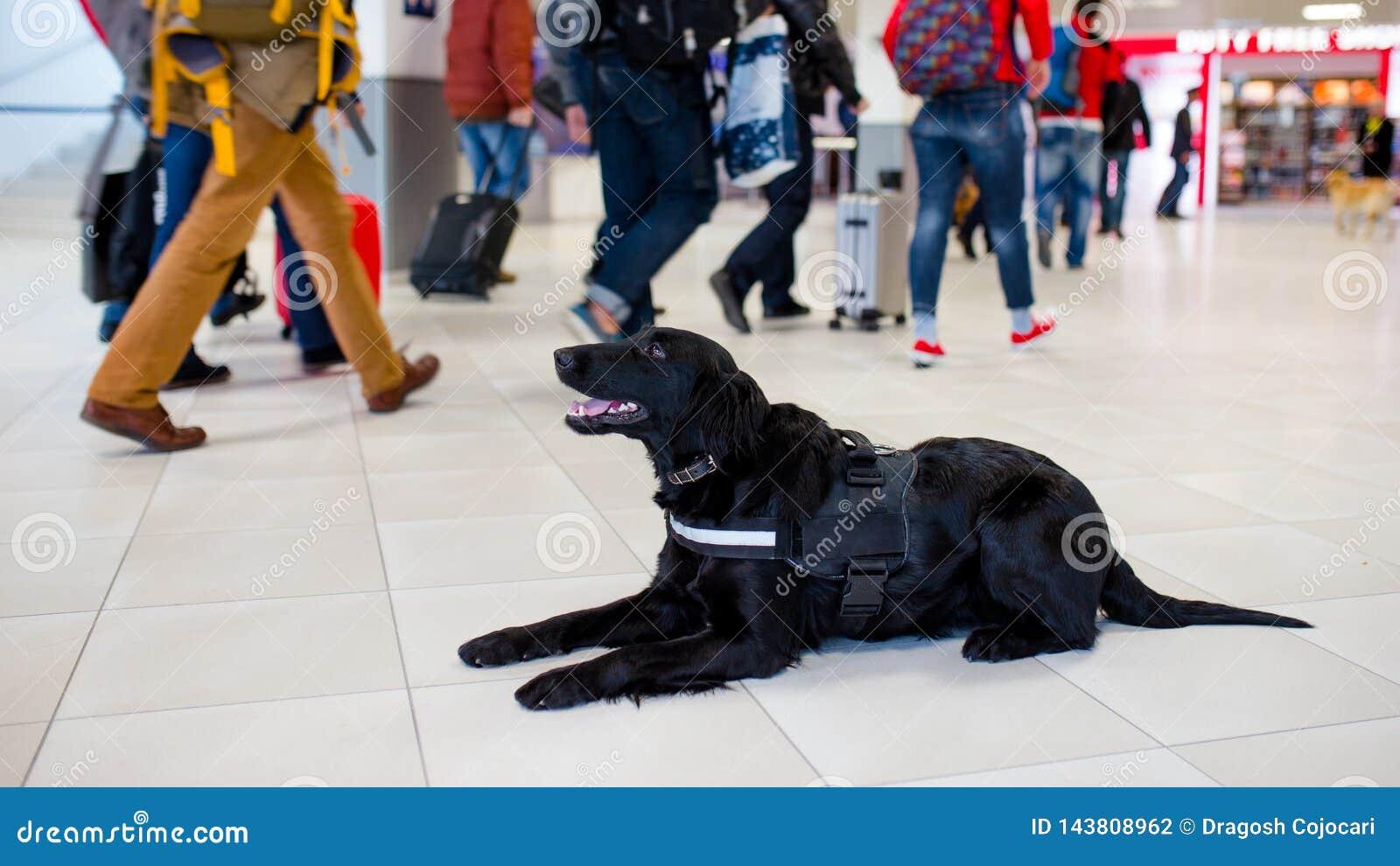 De zwarte hond die van de drugopsporing bij de luchthaven op de achtergrond van mensen rusten Horizontale mening