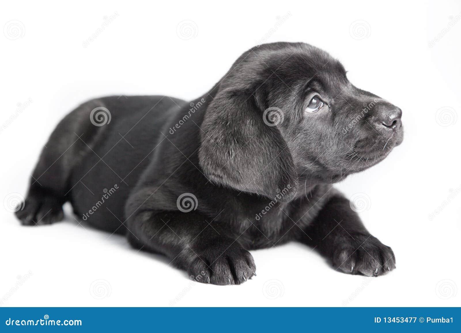 de zwarte hond labrador van het puppy royalty vrije stock fotografie afbeelding 13453477. Black Bedroom Furniture Sets. Home Design Ideas