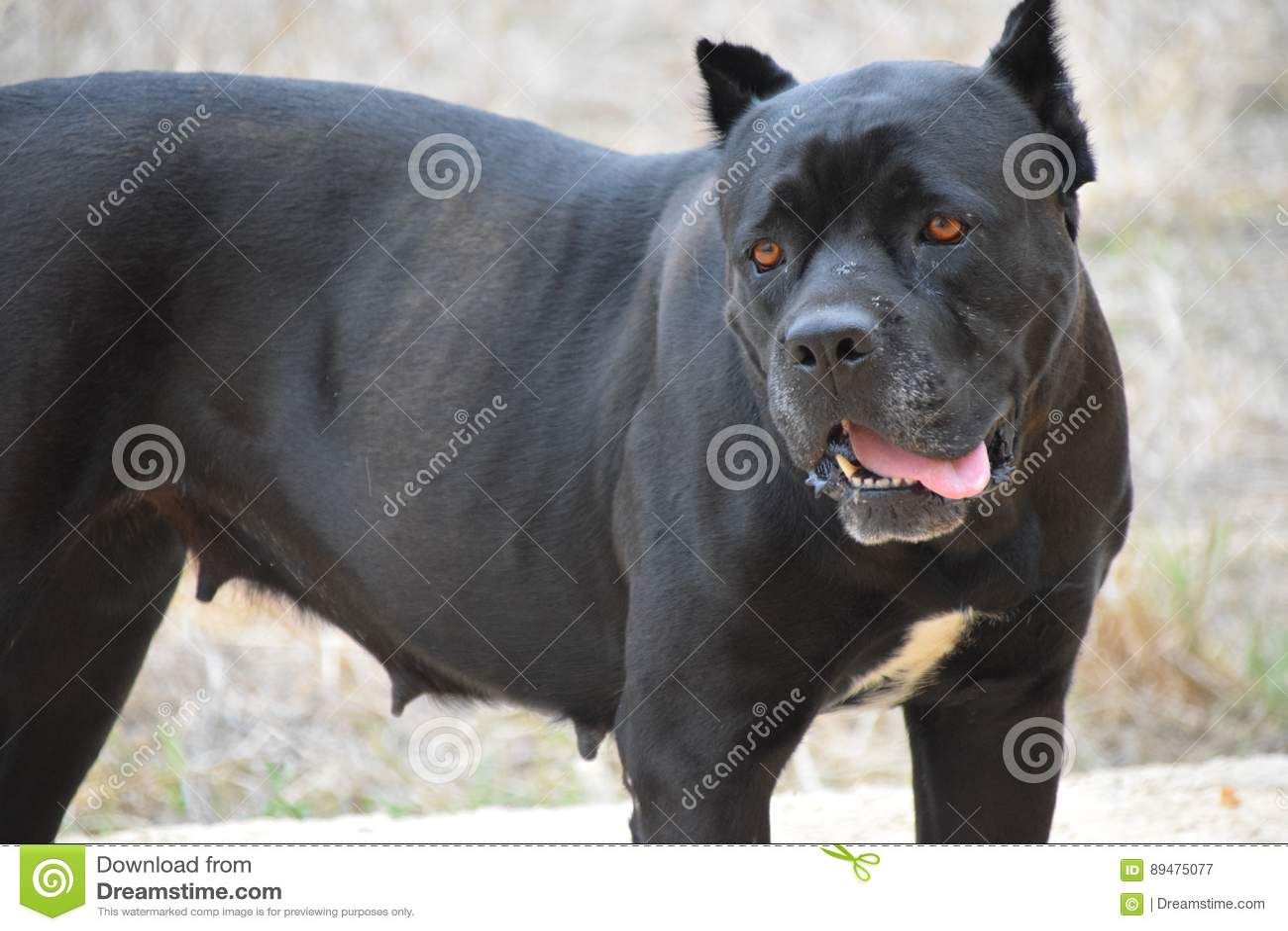 de zwarte hond wijfje kuilstier verdediger vriend metgezel intelligente ogen gele ogen. Black Bedroom Furniture Sets. Home Design Ideas