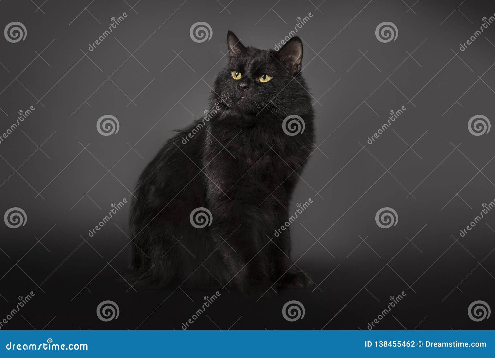 De zwarte kat is geïsoleerd een zwarte achtergrond