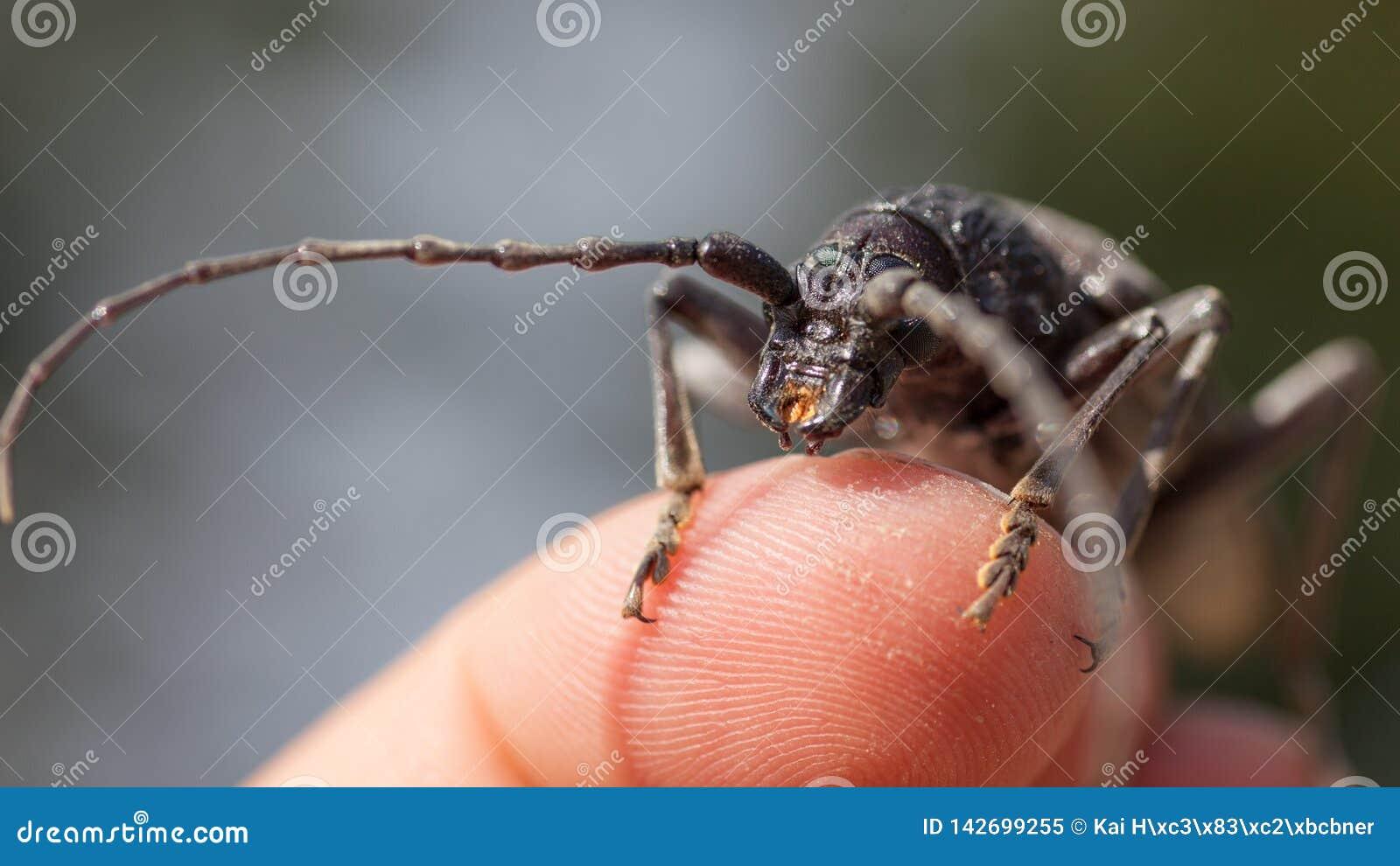 De zwarte kever met lange antennes zit op een menselijke vinger