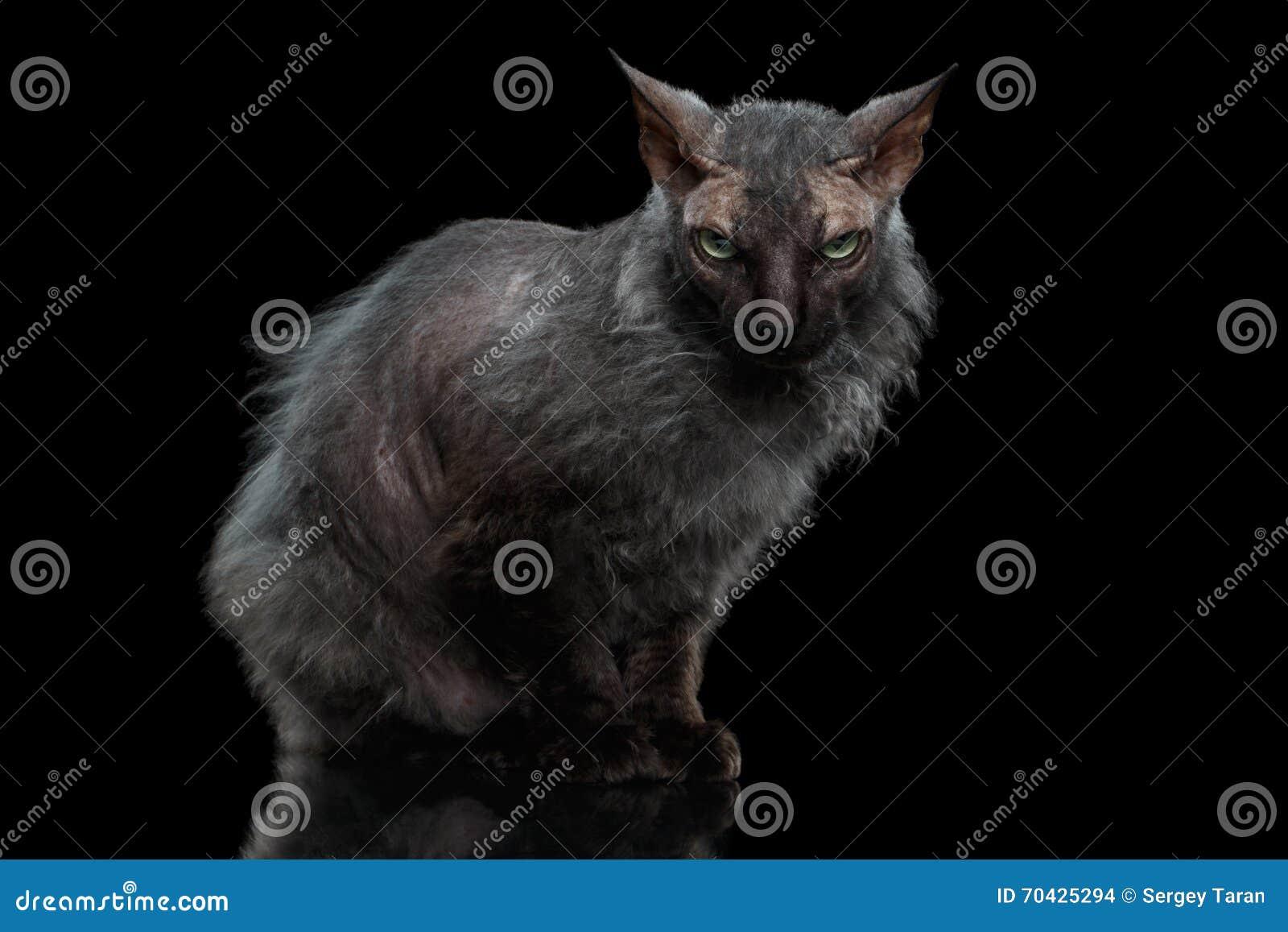 De Zwarte van weerwolfsphynx Cat Angry Looking in camera