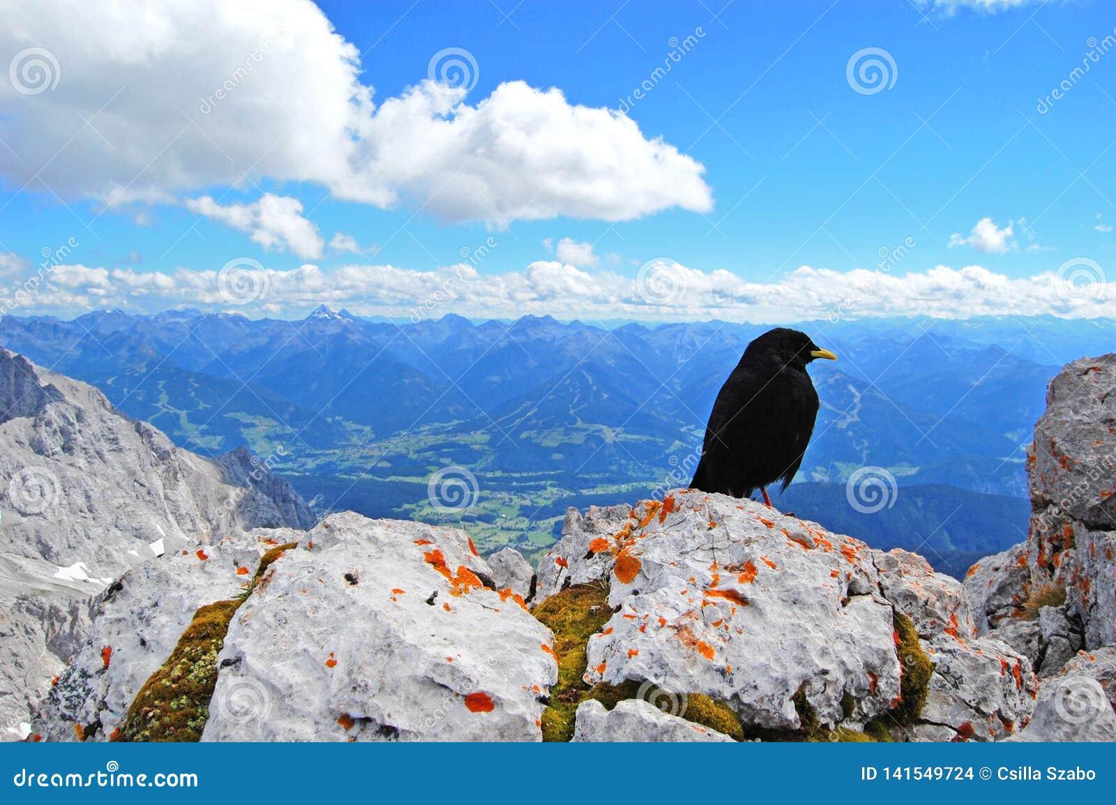De zwarte vogel bovenop de wereld, schoonheid van aard, blauw alpien landschap, blauwe hemel, sneeuw behandelde bergpieken