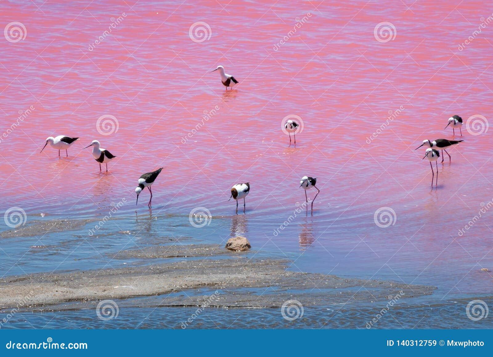 De zwarte vogels van de vleugelstelt bij het Roze Meer in Westelijk Australië
