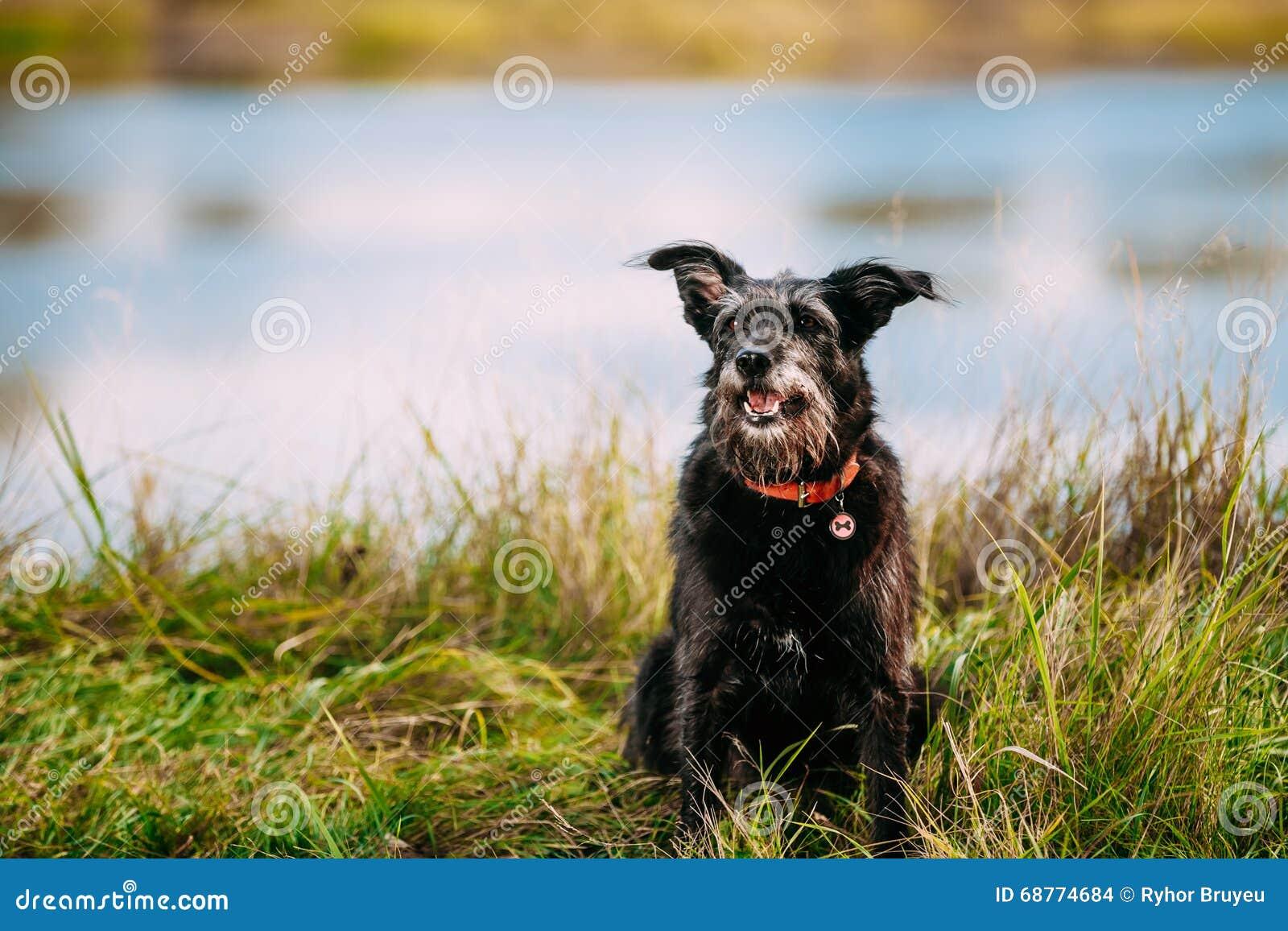 de zwarte zwarte hond van de jachthond kleine grootte in gras dichtbij rivier meer stock foto. Black Bedroom Furniture Sets. Home Design Ideas