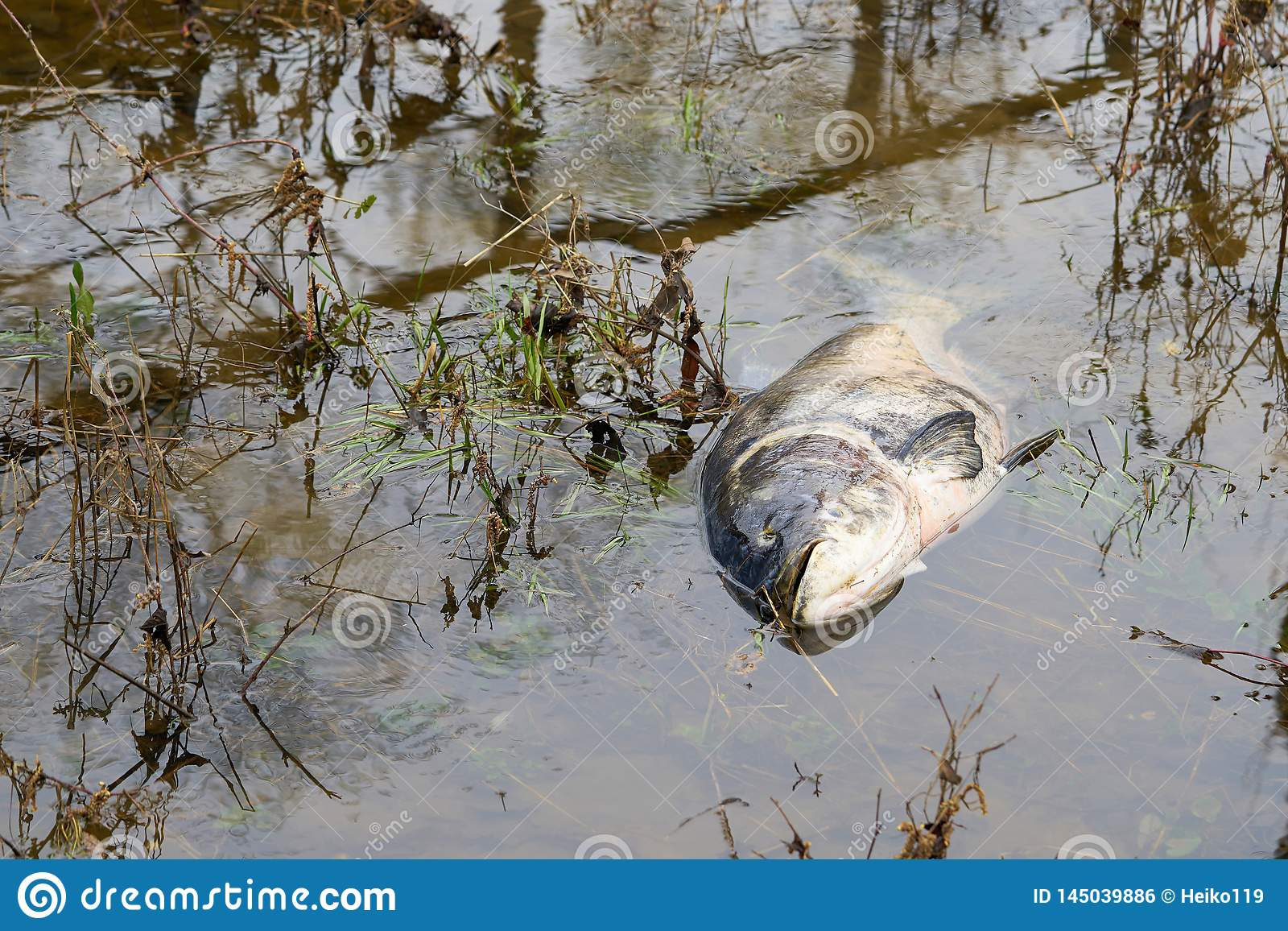 Dead bighead carp in a tributary of the Elbe near Magdeburg