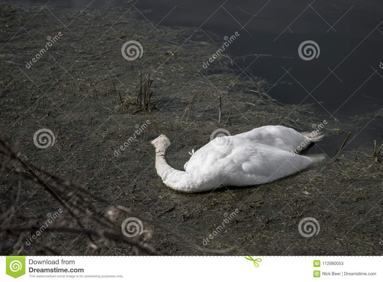 Tragic scene of a dead adult Swan seen floating in a polluted river.