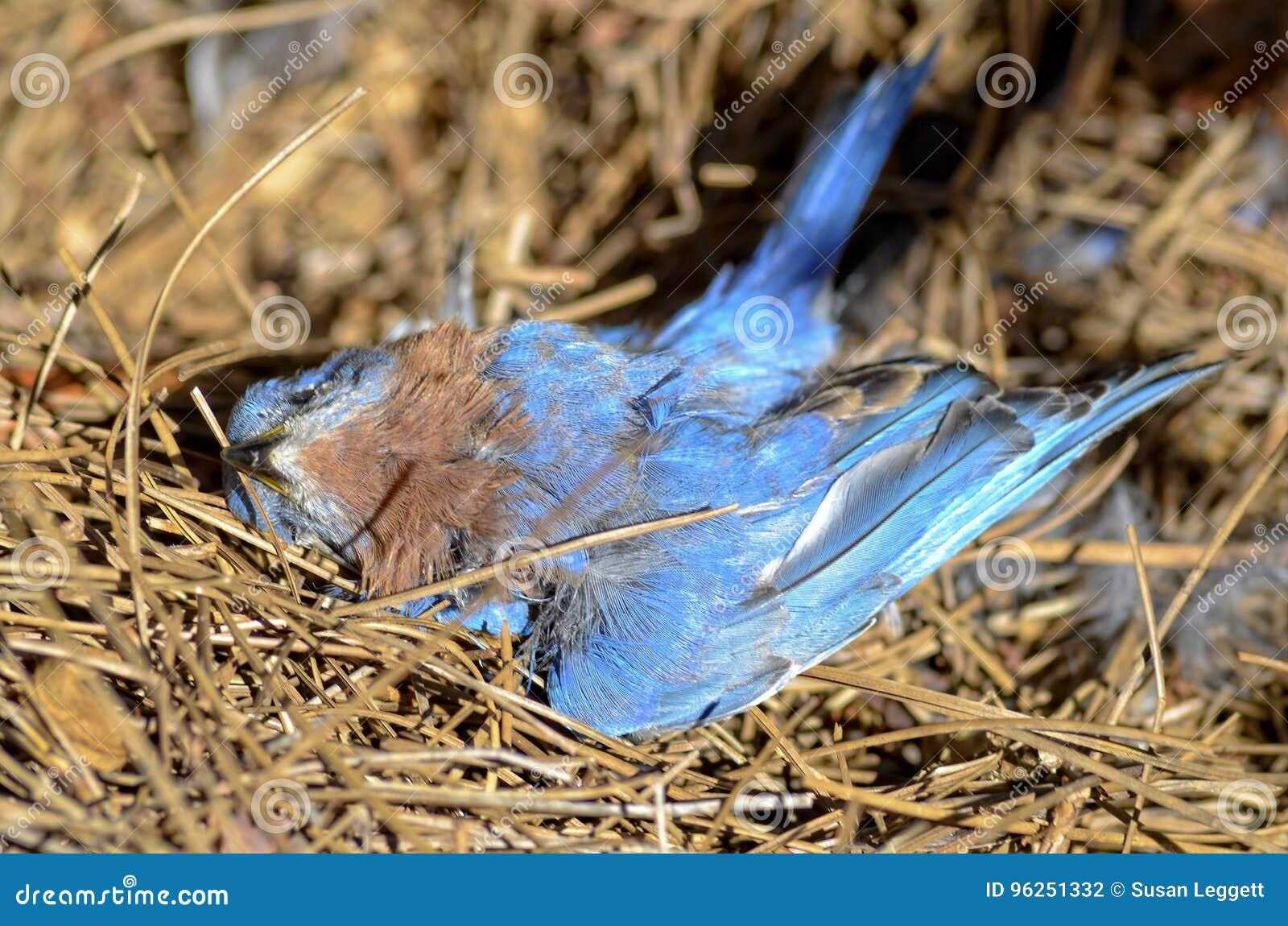Dead Blue Bird stock photo  Image of death, lifeless - 96251332