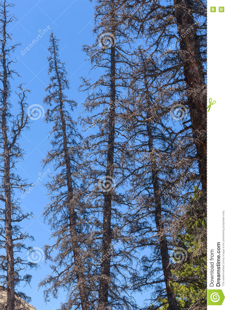Dead Conifer Trees Killed by Bark Beetle