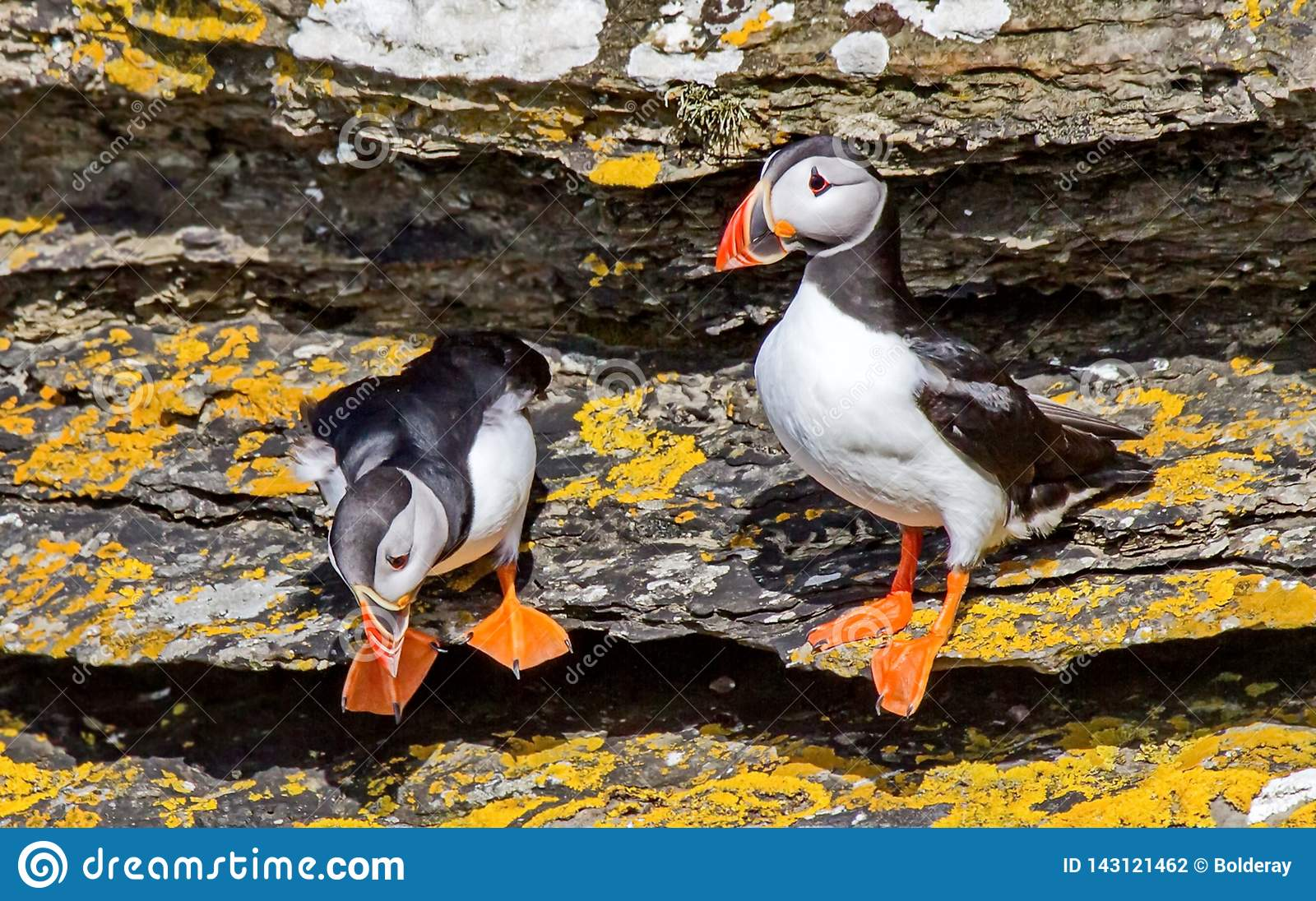Dead end, or Atlantic dead end Fratercula arctica - a species of seabirds. They live on the coasts of the Atlantic