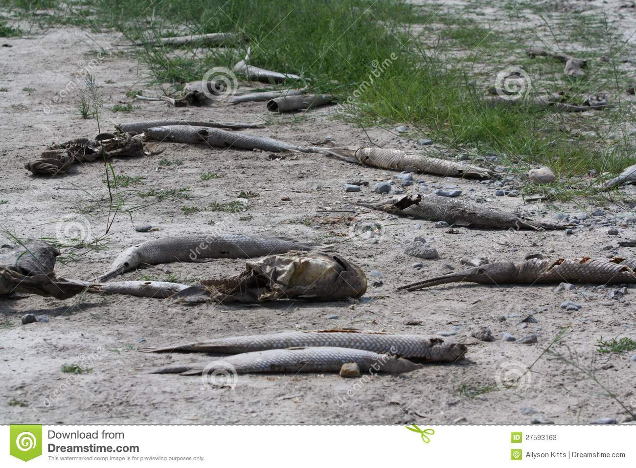 Dead Fish Drought Tom Green County Texas Editorial Stock Photo