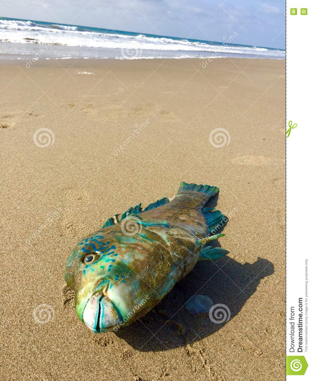 Dead fish stock image image of pacific fish sand ocean 79785841 fish on the sand beach of the pacific ocean publicscrutiny Images