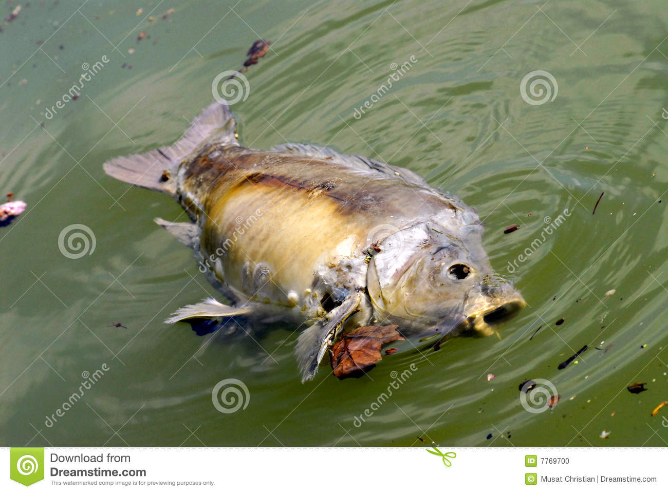 Dead Fish In The Water Stock Photo 7769700 Megapixl