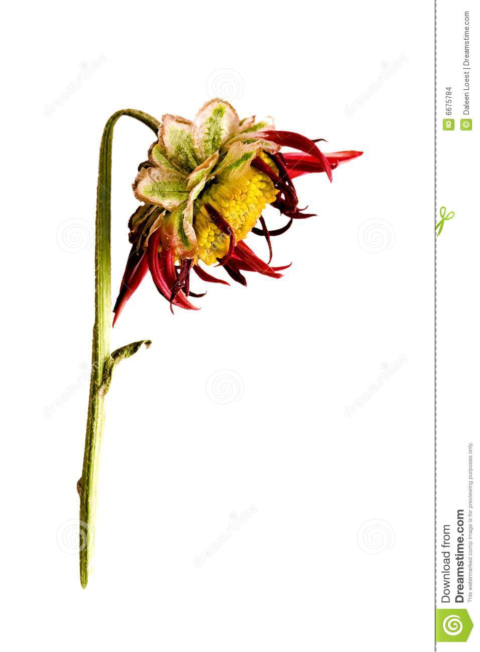Dead flower head stock photo. Image of wilted, green ... White Daisy Flowers Clipart