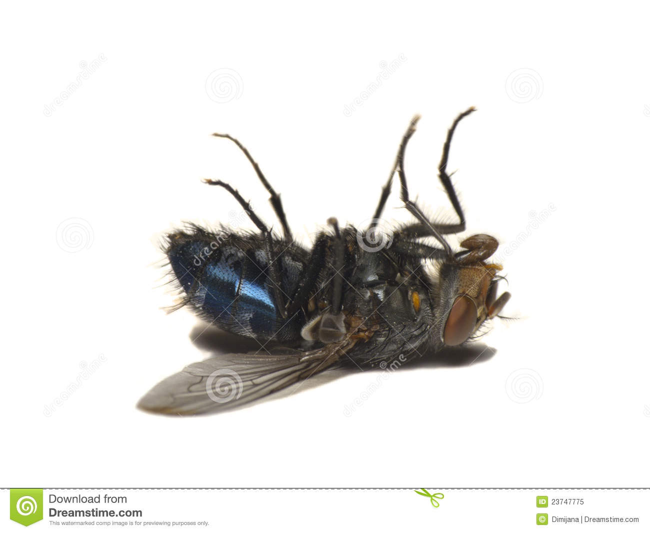 Dead Fly Isolated On White(Caliphora Vomitoria) Royalty Free Stock ...