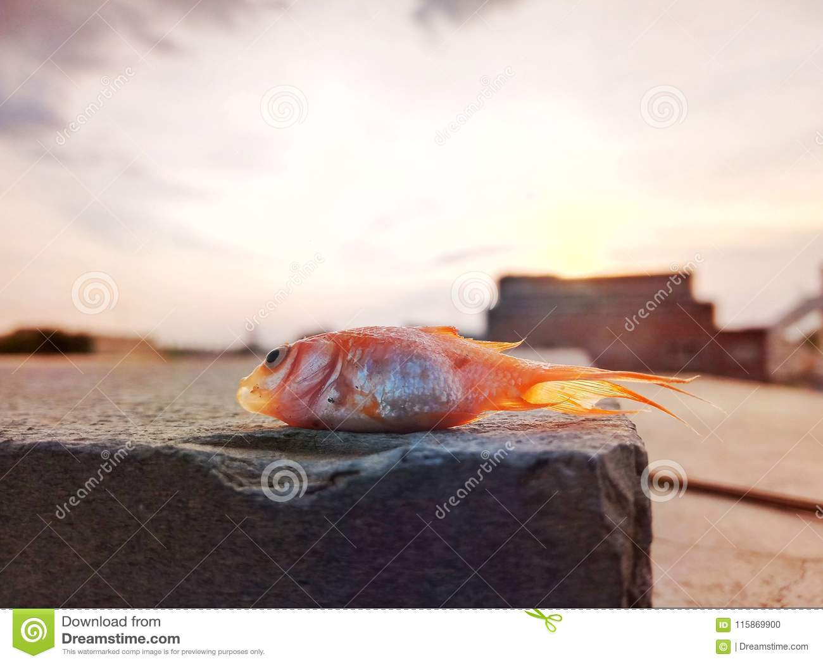 Dead gold fish