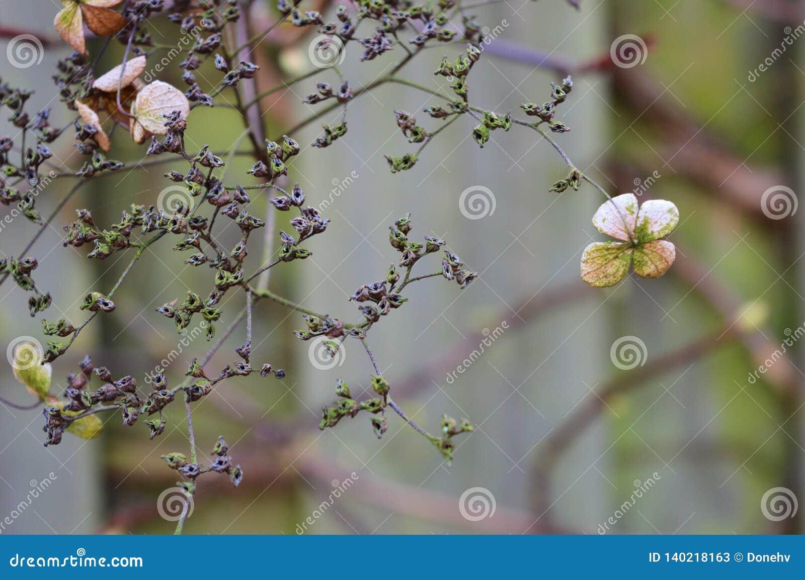 Dead hydrangea flowers in the winter