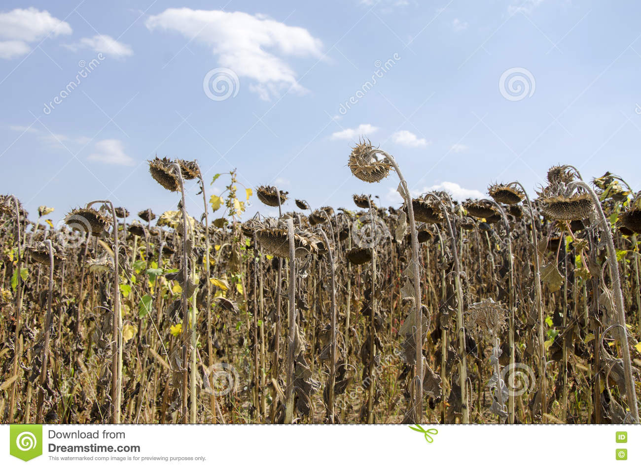 Dead Sunflower Field Stock Photo Image Of Leaf Color