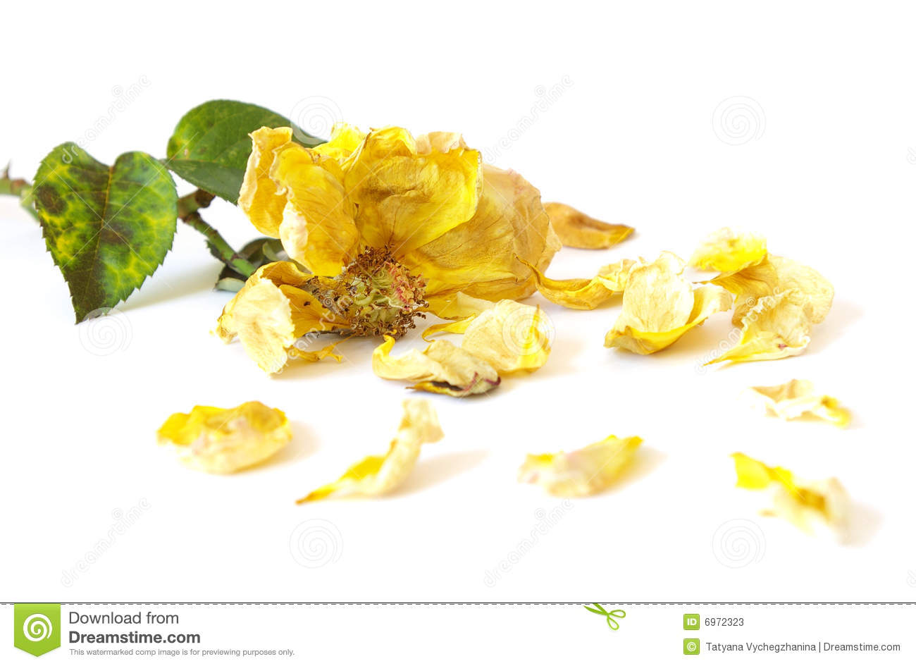 Dead yellow rose