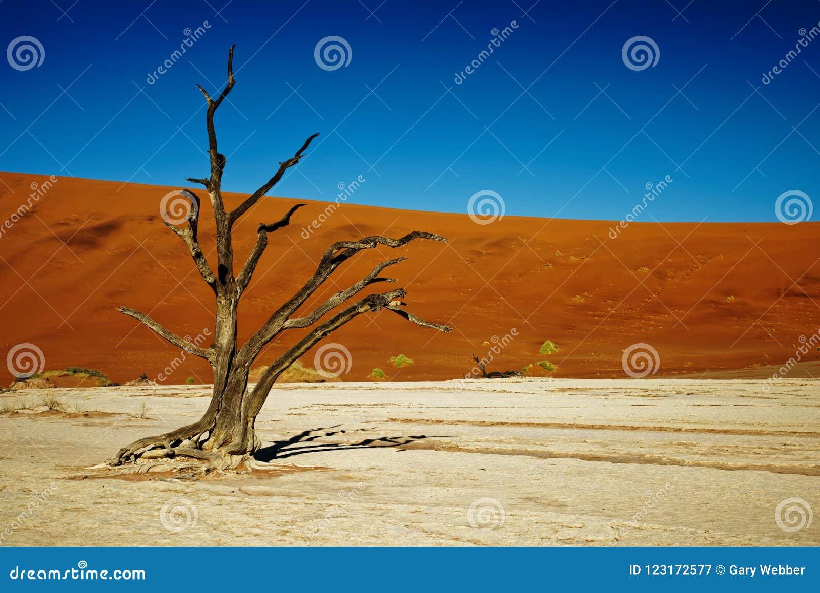 Deadvlei Namibia nieżywi drzewa, zamykają up jeden drzewo