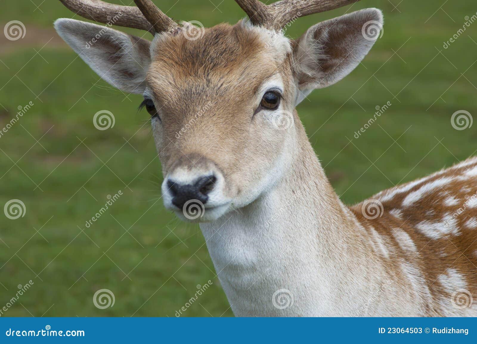 Roe Dear stock photo. Image of head, rural, white, eyes