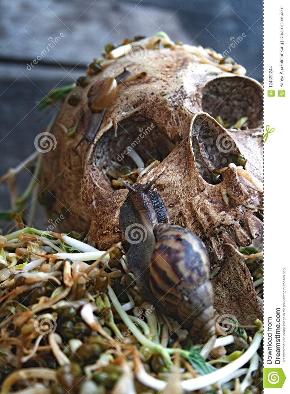 Death skull human with big snail crawl on face and rot bean sprouts some foul smelly.