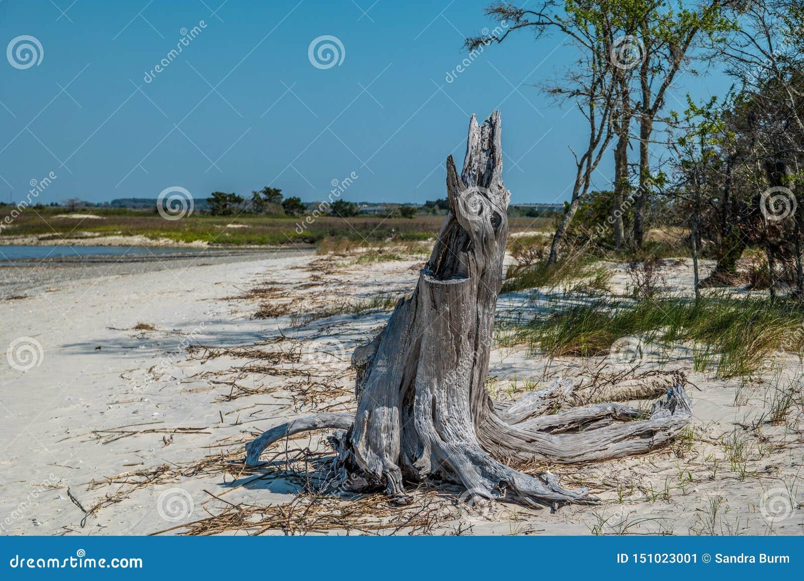 Decayed tree stump on the beach
