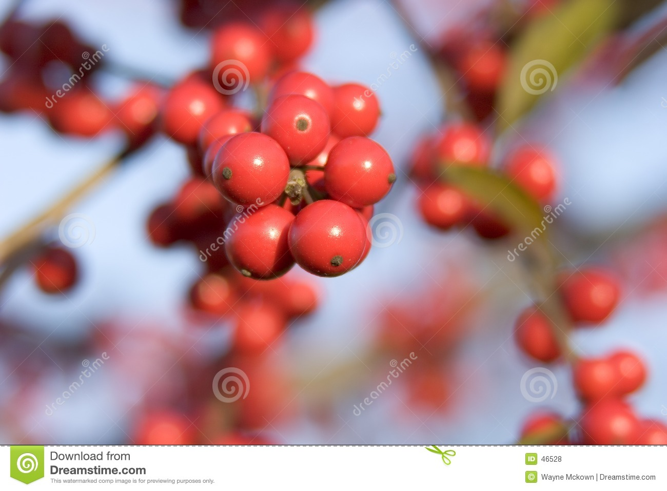 Decidious Holly Berries
