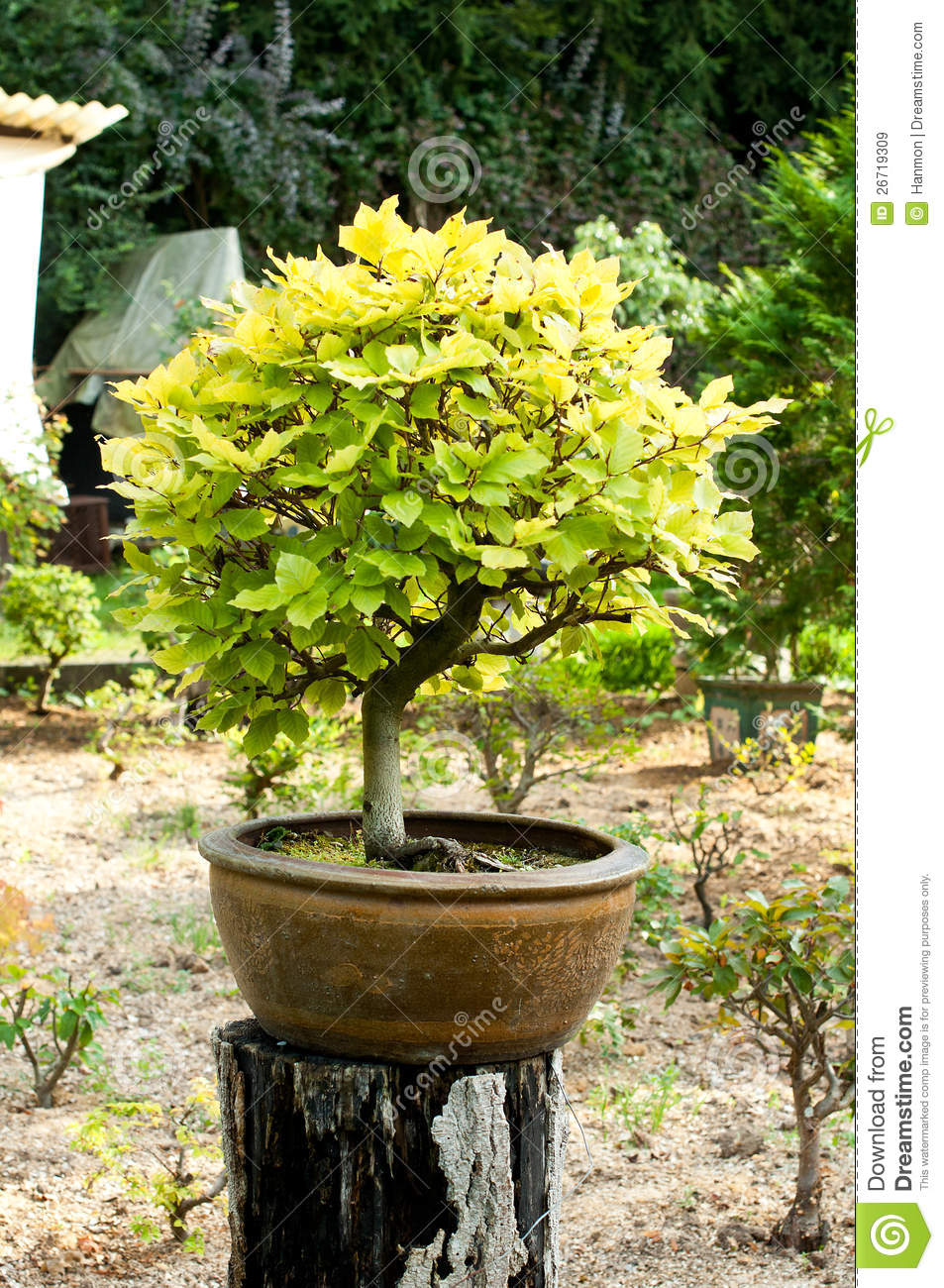 Deciduous Bonsai Tree Royalty Free Stock Images Image