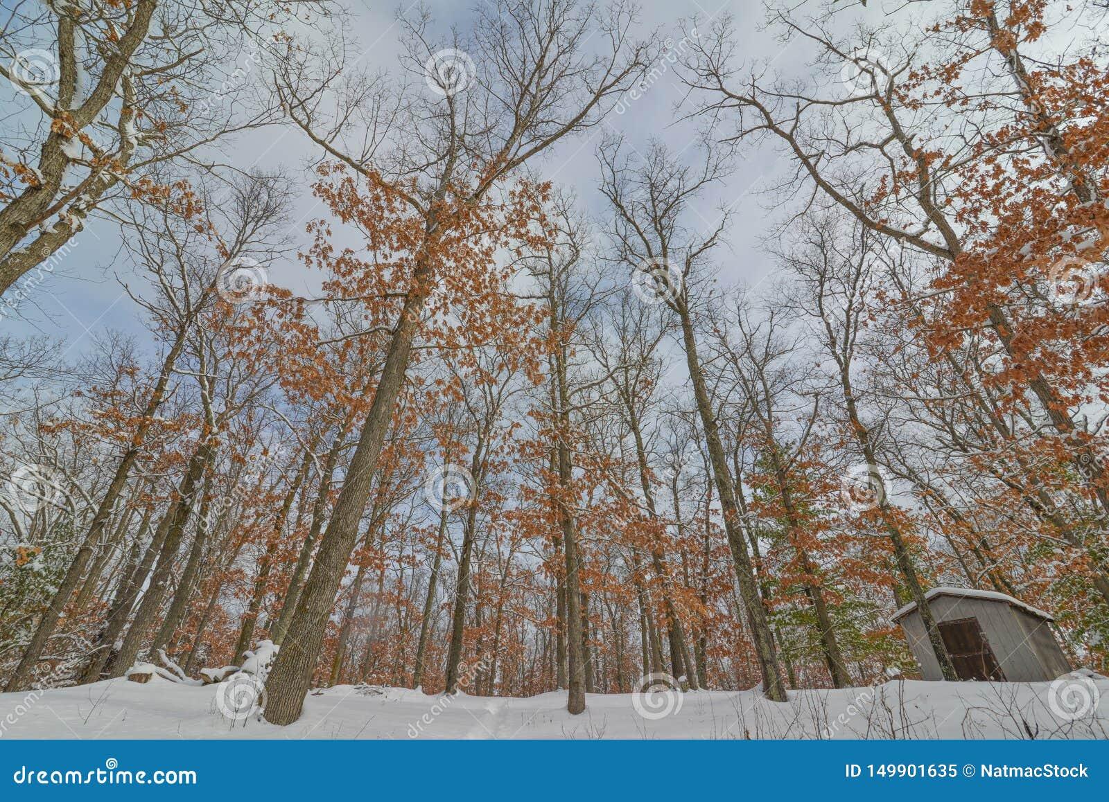 Deciduous drzewa las w zimie blisko gubernatora Knowles stanu lasu w Północnym Wisconsin - ziemia patrzeje do drzew i