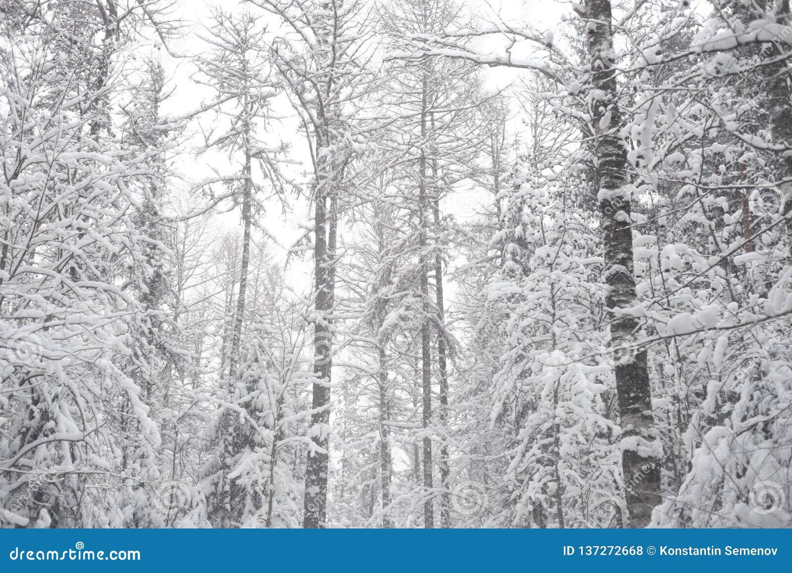 Deciduous las przy zimą