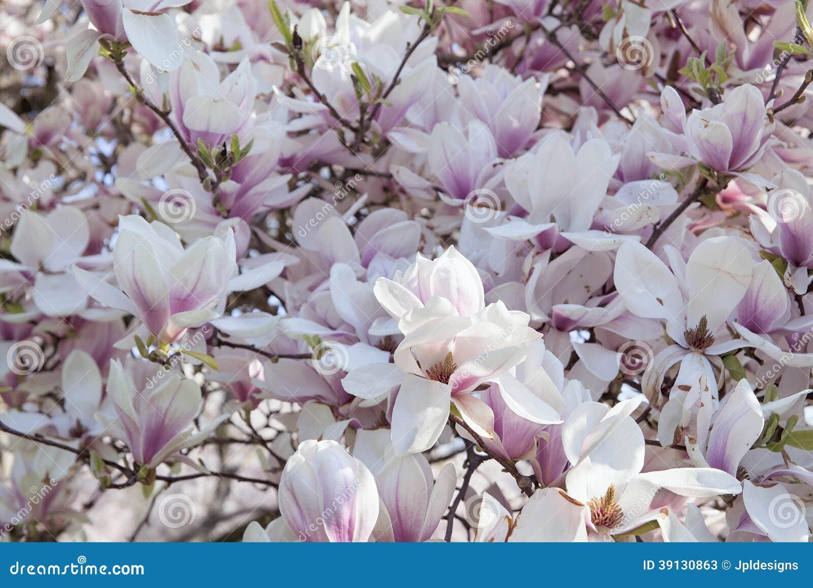 Deciduous Magnolia Tree In Full Bloom Stock Image Image Of White
