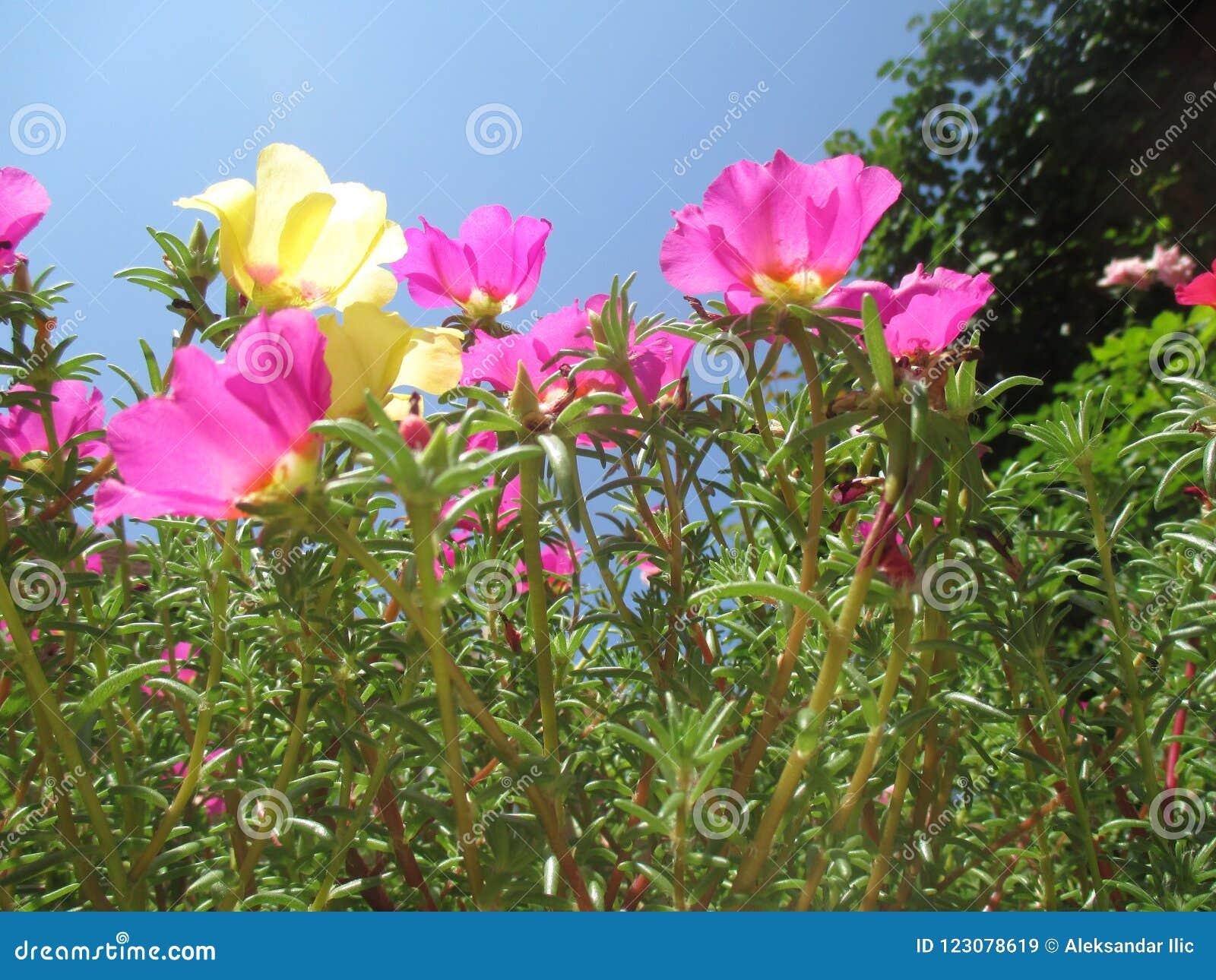 Decke von Blumen Purslane